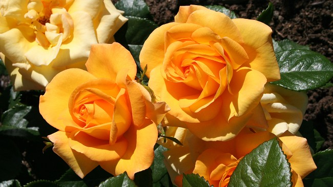 Toms Favoritt Rose